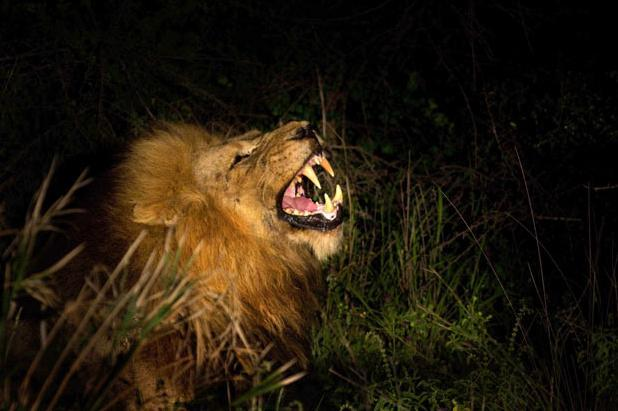 Mohawk the lion is pictured at night by Hennie van Heerden in the  Mala Mala Game Reserve in Northlands, South Africa. Mohawk is the leader  of a five-strong gang of male lions called the Mapochos, which means  'the devils' in the local dialect where the lions roam. They are a group  of males who have no pride of females to call their own. Picture: HENNIE VAN HEERDEN / BARCROFT MEDIA