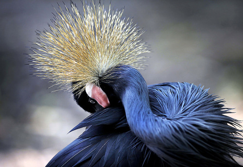 neiture:  An African Crowned Crane grooms itself at the Jurong Bird park in Singapore (Photo by Wong Maye)