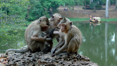 I gave some bananas to some macaques today at the south gate of Angkor Thom. At one stage I had two sitting on my head arguing over the tube of insect repellent they stole from me. There's now at least one monkey in Cambodia free of ticks and fleas. Or at least not bothered by mosquitoes…