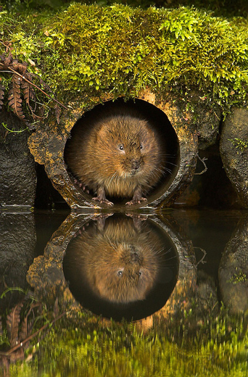 Vole in a hole, animal, vole, looking out of a hole, reflection in water, photo by, danny green, @dannygreenphotography.com uploaded by Happy Jack
