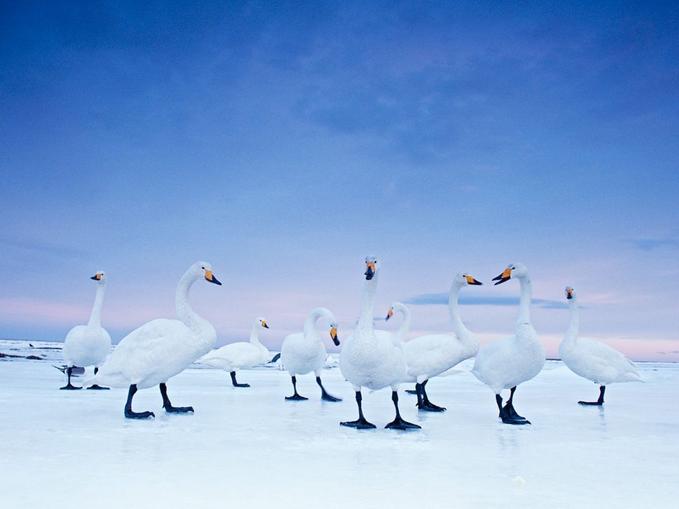 "Pale as moonlight, whoopers settle down for the night on a frozen stretch of Hokkaido's Notsuke Bay. ""These birds aren't shy,"" says the photographer. Fed by humans, in some places they're a tourist draw. ""Good for tourism, not the swans,"" a Japanese biologist says. Photograph by Stefano Unterthiner"