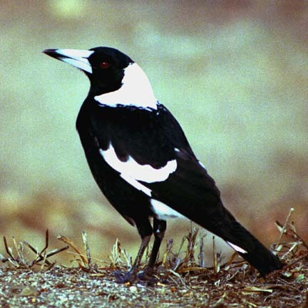 This is a Magpie. Magpie happens to be a family nickname for our little Maggie. I am considering a tattoo of a Magpie for this reason. Anybody ever seen one of these birds in person? (via)