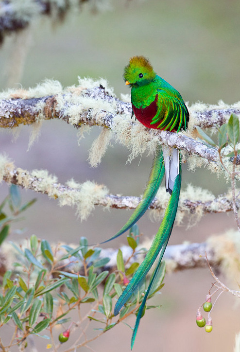 "animalworld:  RESPLENDENT QUETZELPharomachrus mocinno©Judd Patterson The Resplendent Quetzal is a bird in the trogon family. It is found from southern Mexico to western Panama (other quetzals are found in South America and eastern Panama). It is well known for its colorful plumage.  The Resplendent Quetzal is Guatemala's national bird, and appears on the flag and coat of arms of Guatemala. It is also the name of the local currency (abbreviation GTQ). The Resplendent Quetzal was considered divine, associated with the ""snake god"", Quetzalcoatl by Pre-Columbian Mesoamerican civilizations. Its iridescent green tail feathers, symbols for spring plant growth, were venerated by the ancient Aztecs and Maya,  who viewed the quetzal as the ""god of the air"" and as a symbol of  goodness and light. Mesoamerican rulers and some nobility of other ranks  wore headdresses made from quetzal feathers. Since it was a crime to kill a quetzal, the bird  was simply captured, its long tail feathers plucked, and was set free. Fact Source: http://en.wikipedia.org/wiki/Resplendent_Quetzal Other photos that you may like: Resplendent Quetzel Blue Crowned Trogan Scarlet Rumped Trogan —- proyectoblog:  Quetzal"