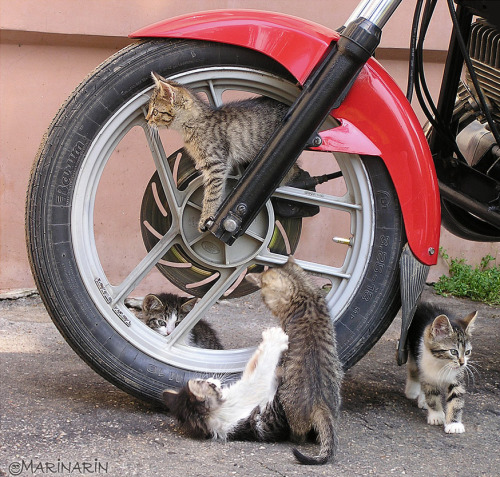 get off of there cats. you cannot play on a motorcycle. motorcycles are for motorcycle gang members and the terminator not for kittens.