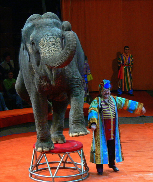 Elephant at the Big Moscow Circus.