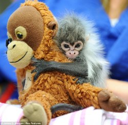 wellthatsadorable:  This baby monkey was rejected by his mom, so the zookeepers are keeping him comforted with stuffed animals around the clock. Only click through to the article if you want to feel heartbroken and rage toward a deadbeat monkey momma.
