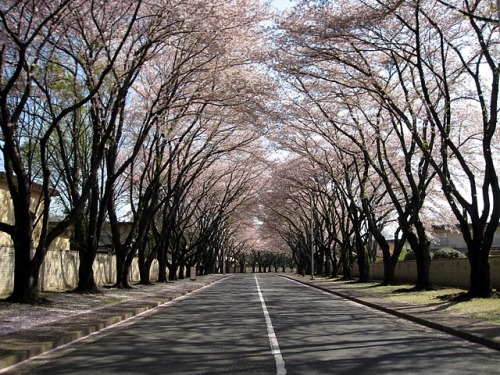 lawandhoundstooth:  McGuire Avenue, Yokota AFB, Japan.  I miss you, and your gorgeous cherry blossom trees.