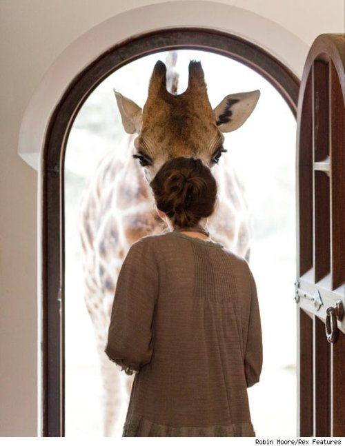 schmegga:  Giraffe Manor in Kenya: Where Guests Live Among World's Tallest Creatures (with video)