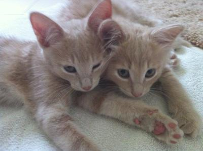 My kittens Jake and Sampson! My family and I got them from the SPCA and we love them very much :) Submitted by paniconthedisco