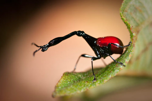Male GIRAFFE WEEVIL (Trachelophorus giraffa)  ©Axel Strauß The giraffe weevil is a weevil endemic to Madagascar.  It derives its name from an extended neck much like that of the common giraffe. The giraffe weevil is sexually dimorphic,  with the neck of the male typically being 2 to 3 times the length of  that of the female. Most of the body is black with distinctive red elytra covering the flying wings. The total body length of the males is just  under an inch (2.5 cm), among the longest for any Attelabid species. The  extended neck is an adaptation  that assists in nest building and fighting. When it comes time to  breed, the mother-to-be will roll and secure a leaf of the host plant, Dichaetanthera cordifolia and Dichaetanthera arborea (a small tree in the family Melastomataceae), and then lay a single egg within the tube. She will then snip the roll from the remaining leaf in preparation of the egg hatching. Fact Source: http://en.wikipedia.org/wiki/Giraffe_weevil Other photos you may enjoy: Stalk-eye Fly Ball Bearer Leafhopper Ornate Crocodile Planthopper