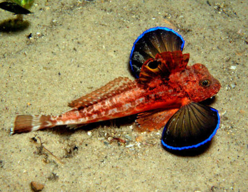 "EASTERN SPINY GURNARD (Lepidotrigla pleuracanthica) ©David Harasti The Eastern Spiny Gurnard can be occasionally found on sandy bottoms in areas adjacent to coastal  reefs on the east coast of Australia.  Its range extends from southern  Queensland to southern New South Wales and probably extends into eastern  Victorian waters. A trait of the  Gurnard species is that it can walk along the bottom by means of feelers  in front of its pectoral fins. The Eastern Spiny Gurnard has rounded  pectoral fins that look like wings which display a bright fluorescent  blue around the edge. The species grows to a maximum size of 8""/20 cm. Fact Source: http://www.scuba-equipment-usa.com/marine/NOV03/Eastern_Spiny_Gurnard%28Lepidotrigla_pleuracanthica%29.html Other photos you may enjoy: Rosy-lipped Cocos Batfish Lizardfish Purple Tang"