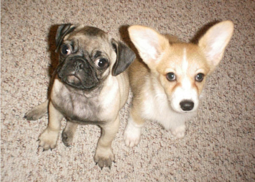 baby puglet and baby corglet