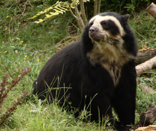 the spectacled bear (Tremarctos ornatus). my favorite ursid. the only bear native to south america. the last of the pleistocene short-faced bears. subsists largely on bromeliads. the inspiration for 'paddington bear'. commonly called ucumari.  welcome to a beast a day.