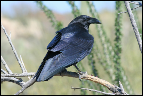 "Fun Fact ""Ravens are the one of the few other creatures besides humans that act silly just for the fun of it.""  - Wild Russia (See a rare video of ravens being silly here) Interesting side note: You may know that a group of crows is called a murder of crows, while ravens are referred to as an unkindness."