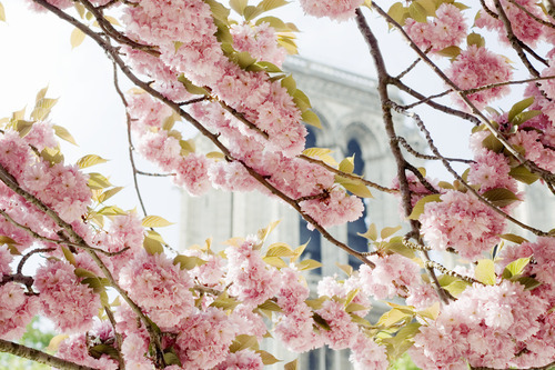 pink blossoms, green leaves, and Notre Dame Cathedral, Paris, France Who shot this?
