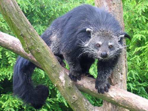 the binturong (Arctictisbinturong). the only Old World mammal with a prehensile tail. native to southeast asia. emits an odor reminiscent of buttered popcorn. sometimes called the bear cat.