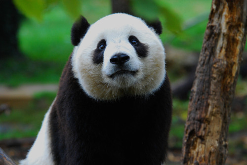 fuckyeahgiantpanda:  Tai Shan at the National Zoo on January 18, 2008. © Craig Salvas.