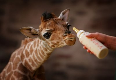 I absolutely LOVE giraffes <3 (: Submitted by sashafedorova