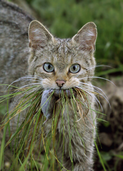 rhamphotheca:  A Eurasian Wildcat (Felis sylvestris) has a little salad with his vole.