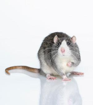 "First wearable brain scanner lets rats run free  A miniature brain scanner small enough for rats to wear is enabling researchers to watch how the brain influences behaviour for the first time.  Animals usually have to be anaesthetised before they can be scanned, so the ""ratCAP"" makes it possible to see in real time how sexual, addictive and depressive behaviours affect, and are affected by brain chemistry.  ""It means we can watch how the animals behave and observe their brain chemistry at the same time,"" says David Schlyer, co-leader of the team that developed the mini-scanner at Brookhaven National Laboratory in Upton, New York.  ""We can start to understand the brain chemistry involved in behaviour to a much greater extent than before in rodents,"" says Schyler.  The scanner is shaped like an Elizabethan ""ruff"" and encircles the rat's head between the eyes and ears, while still allowing the animal to see ahead through the hole in the middle."