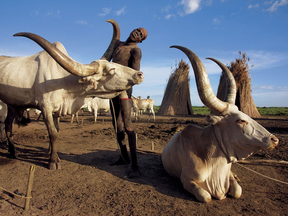 The connection between a Dinka man and his cow is profound; it is part of his personal identity. Photograph by George Steinmetz