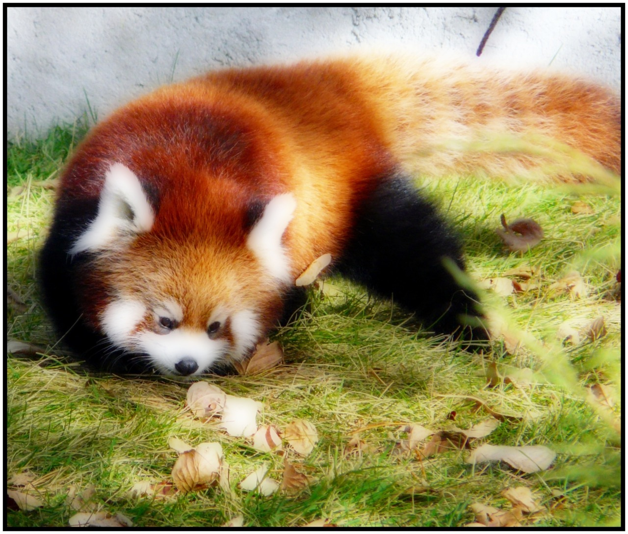 - Red Panda -   I just want to hug the stuffing out of these cute little creatures. I'm pretty sure they would claw my face off for the trouble.