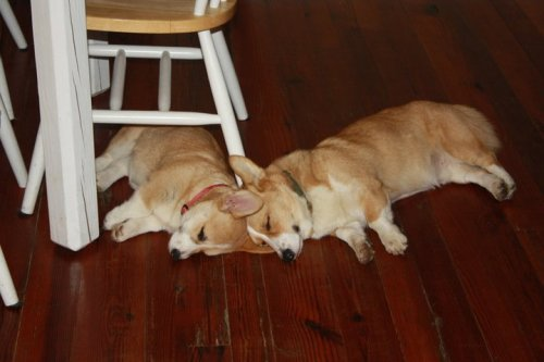 Precocious puppies, Barley and Scout, are way too tired - even to shoutat the mailman passing on his routeor their mother who loves to floutpictures of them on Tumblr.<3 (Picture and prose submitted by bonestar:                        )