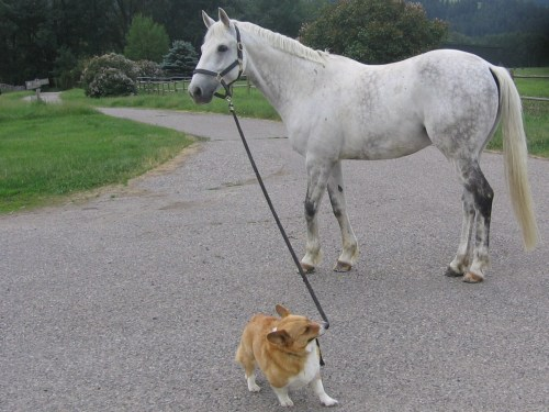 Brofy likes to lead horses, he takes he job very seriously!  Corgis walking their pet horses. LOVE IT!