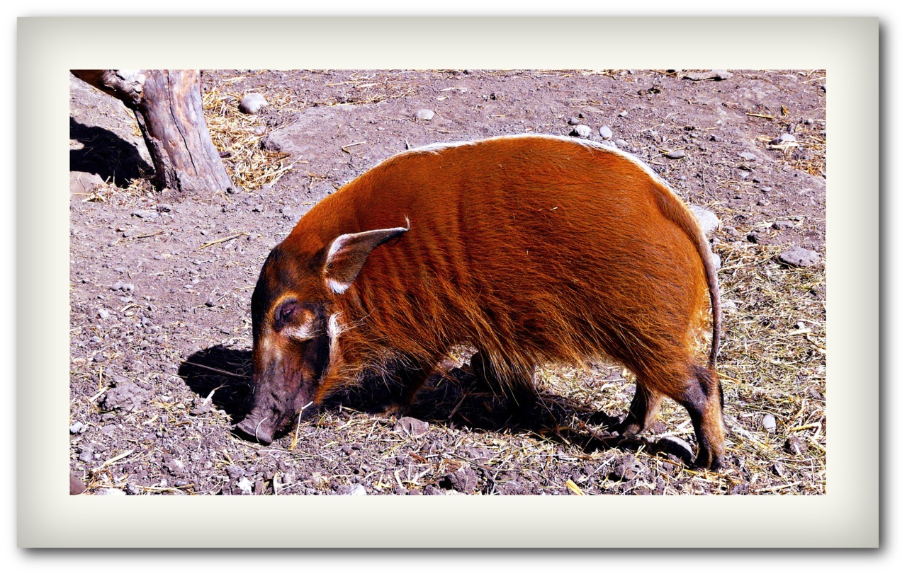 - Red River Hog -