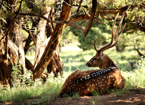 the chital (Axis axis). native to india and surrounding countries. as social animals, they perform a distinct 'courtesy posture' similar to bowing when other deer pass. their meat is delicious.