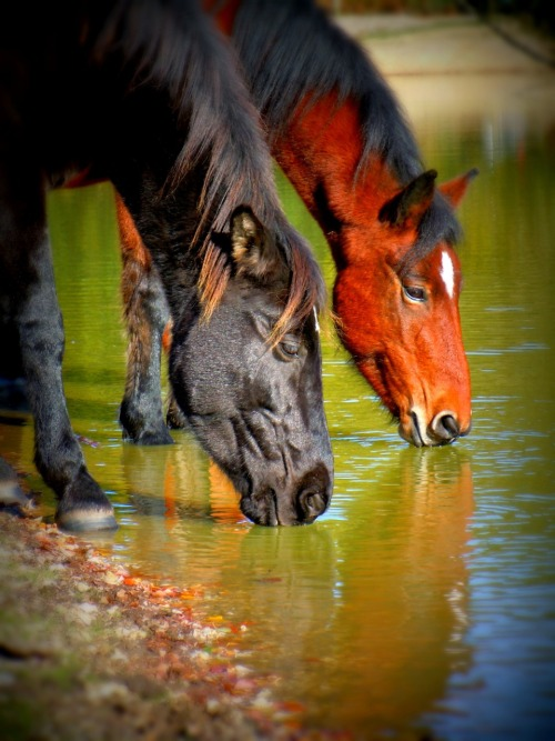 theanimalblog:  Horses in the New Forest, England | Submitted by simply-sunflowers