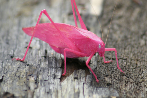 owls-love-tea:  A pink Katydid. Usually grey, this is a 1 in 500 mutation. National Preserve, Beverley Shores, Indiana.