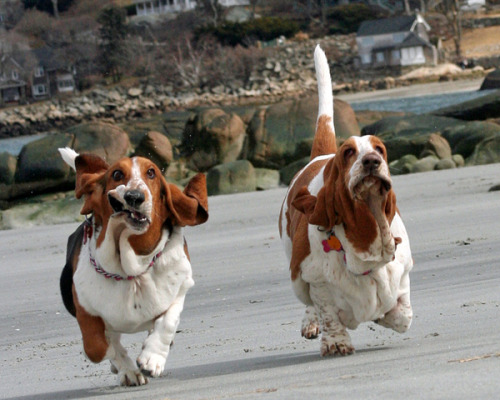 allcreatures:  Basset Hounds Running: Pics, Videos, Links, News