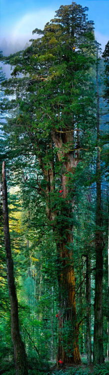 artsandletters:  The Majestic Redwood Prairie Creek Redwood State Park, California This amazing 83 photo composite of a 300 foot tall, 1500 year old redwood was shot by Nick Nichols for National Geographic. He used a 3 camera, robotic dolly on a gyroscope.