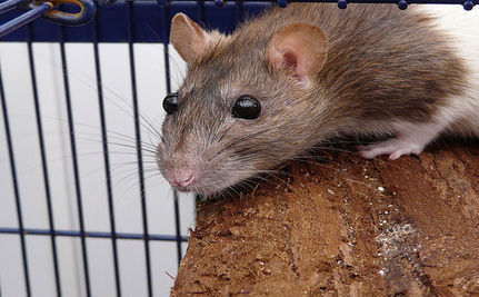 Rats Approved As Serivce Animals Amid Protest from Tea Party and Feds The city council in Hesperia, CA approved a pair of rats as service animals on Tuesday, in spite of the federal government's declaration that dogs are the only service animals and a protest by the local Tea Party. On March 15, the federal government tightened its definition of what constitutes a service animal as part of the Americans with Disabilities Act. The new classification sanctions only dogs and in some cases, miniature horses. The Act was signed into law in July 1990, but it never clearly defined which animals can be used as service animals. This led to all sorts of the animals being given the privilege over the past 21 years including: pigs, cats, monkeys, snakes, lizards and others. Hesperia's Law The new regulation will have an impact on the entire country, except the small town of Hesperia where the city council voted 4-1 to allow any species of animal with a doctor's note certifying their status - to be a service animal. The issue began earlier this month when resident Danni Moore requested the city council pass an ordinance to allow two rats that sit on her shoulders to help control seizures become service animals. The council approved the first step of the regulation on March 1 which would allow Ms. Moore to bring her rats into public buildings and businesses. [Click for full article]