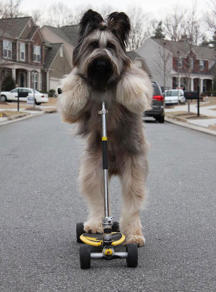 dailybriard:  Norman the Briard rides a scooter upright in Canton, Georgia, USA. The dog first perfected his trick in the back garden of owner Karen Cobb's home early last year. His talents caught the attention of David Letterman, and Norman and Karen appeared on the comedian's Late Show in February.  This is the best thing. Except for that thing about a shelter in New Zealand and how they are teaching their dogs how to drive. For real. They drive real cars and shift gears. Real dogs driving real cars with real engines.