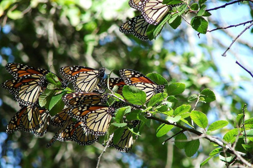 The Monarch butterfly is famous for its' long migration flights. A valued source of data to scientists, the butterflies are lately throwing up some conundrums, as it appears that climate change may be changing their habits as they respond to less hospitable conditions.  So it is with Austin. The Keep Austin Weird campaign seems to have progressed from bumper sticker to rear guard action.  There are signs of gentrification, prosperity and entrepreneurship here, still delicately balanced with the hipster/counter culture that renders Austin so unique in the first place.  Yet the city continues to grow despite the woes of the US housing market.  How long can balance be maintained?  East Austin promises a continuation of the weirdness that made Austin what it is, but with newly built glass condo towers looming over downtown, the clock to theme park status is  ticking.  Don't get me wrong, SXSW is thriving as are the Austin bars and music scene, one just wonders if, like Glastonbury, they are doing a little too well to retain their edge where it counts.