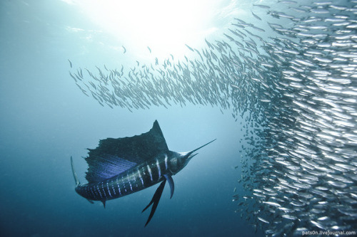 Sailfish chasing a school of sardines (via bait ball symphony on the Behance Network)