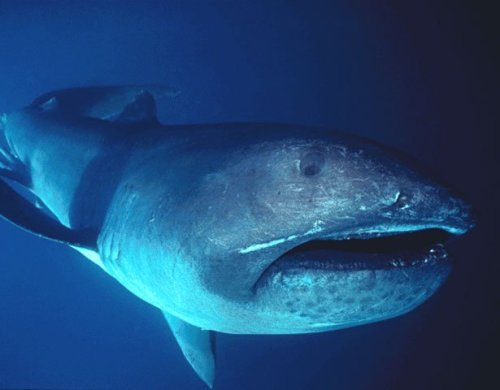 hellyeahskarks:  Shark of the Day!The MEGAMOUTH shark. omnomnom. Since 1976, only around 50 of these guys have been spotted or caught. They can reach lengths of 18 feet, with mouths 4 feet wide - big enough to swallow us whole, but they won't! They have very tiny teeth and are filter feeders, like the whale & basking shark. So they'd much prefer plankton and jellys. Megamouths are rarely seen because they like to hang around depths of 400-525 feet, but at night they ascend to 39-80 feet. Like Great Whites, these sharks carry their eggs within them until they hatch!