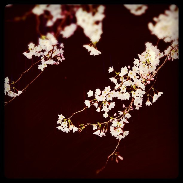 サクラ (Taken with instagram)