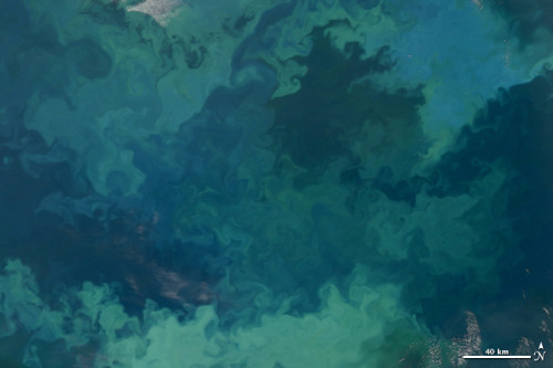 scipsy:  In this natural-color image from August 31, 2010, the ocean's canvas  swirls with turquoise, teal, navy, and green, the abstract art of the  natural world. The colors were painted by a massive phytoplankton  bloom made up of millions of tiny, light-reflecting organisms growing  in the sunlit surface waters of the Barents Sea. Such blooms peak every  August in the Barents Sea. The variations in color are caused by different species and  concentrations of phytoplankton. The bright blue colors are probably  from coccolithophores, a type of phytoplankton that is coated in a  chalky shell that reflects light, turning the ocean a milky turquoise.  Coccolithophores dominate the Barents Sea in August. Shades of green are  likely from diatoms, another type of phytoplankton. Diatoms usually  dominate the Barents Sea earlier in the year, giving way to  coccolithophores in the late summer. However, field measurements of  previous August blooms have also turned up high concentrations of  diatoms. The Barents Sea is a shallow sea sandwiched between the coastline of  northern Russia and Scandinavia and the islands of Svalbard, Franz  Josef Land, and Novaya Zemlya. Within the shallow basin, currents  carrying warm, salty water from the Atlantic collide with currents  carrying cold, fresher water from the Arctic. During the winter, strong  winds drive the currents and mix the waters. When winter's sea ice  retreats and light returns in the spring, diatoms thrive, typically  peaking in a large bloom in late May. The shift between diatoms and coccolithophores occurs as the Barents  Sea changes during the summer months. Throughout summer, perpetual  light falls on the waters, gradually warming the surface. Eventually,  the ocean stratifies into layers, with warm water sitting on top of  cooler water. The diatoms deplete most of the nutrients in the surface  waters and stop growing. Coccolithophores, on the other hand, do well in  warm, nutrient-depleted water with a lot of light. In the Barents Sea,  these conditions are strongest in August. The shifting conditions and corresponding change in species lead to  strikingly beautiful multicolored blooms such as this one. The Moderate  Resolution Imaging Spectroradiometer (MODIS) on NASA's Aqua satellite acquired this image. (via Phytoplankton Bloom in the Barents Sea : Natural Hazards)  to me, this is so incredibly beautiful. <3