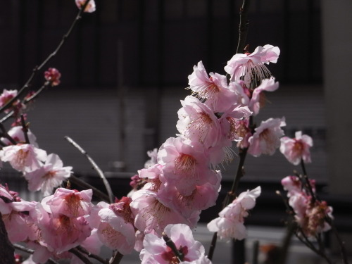 tokyokumako:  sign of spring is everywhere