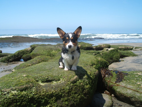 corgiaddict:  thedailycorgi:  WOZ!  !!! Can't wait to take Pudge to the ocean!