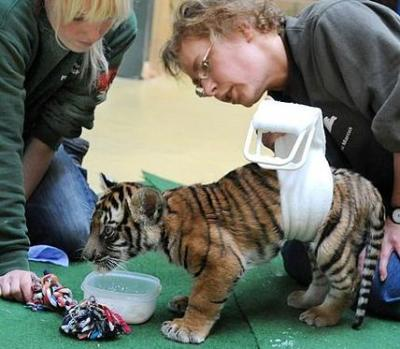 (fuckyeahbigcats)  Paralysed tiger cub Ranga is doing just grrrr-eat - after being taught how to walk again by vets using water therapy. Rana was born completely healthy at Halle Zoo in Germany 18 weeks ago but suddenly collapsed unable to walk.Keepers believe her mother Cindy may have unknowingly crushed her lower back. But  now Rana is back on her feet thanks to the dedication of zoo vets who  use water tanks and special harnesses to take the Malayan tiger cub's  weight while she learns to move her legs again. Read more.