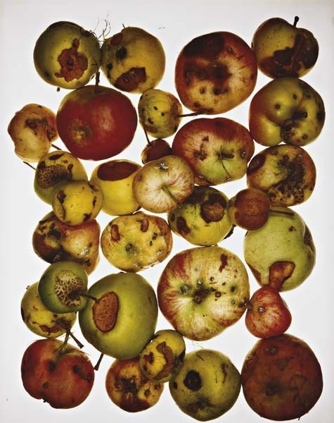 Red Apples by Irving Penn