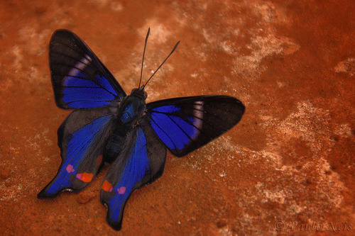 PERIANDER METALMARK (Rhetus periander) ©macronyx/Kristian Svensson The Periander Metalmark (Rhetus periander) is a butterfly of the Riodinidae family. It is found in most of Central America and South America, ranging from Mexico to Brazil and Argentina. Fact Source: http://en.wikipedia.org/wiki/Rhetus_periander Other photos you may enjoy: Blue Morpho Butterfly Cluster Monarch Butterfly Cluster Mystery Green/Teal Butterfly - Anyone?