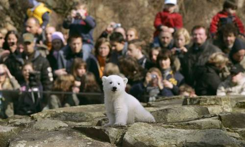 R.I.P., Knut. (Photo of Knut the polar bear making his debut at the Berlin Zoo in 2007 by Arnd Wiegmann / Reuters via MSNBC.com)  via inothernews