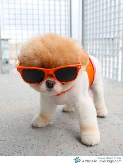 aplacetolovedogs:  boo: sportin' my new shades from lucy.  human looked ridonculous in them, but i think orange is my color Original Article  <3 I WANT ONE
