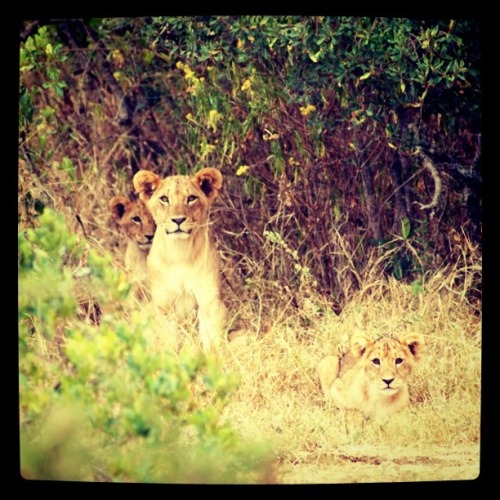 Today on Africa, Instagram(m)ed:  Lions (!!!)