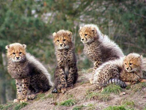 lionsinleotards:  jachtluipaardjes (by belgianchocolate)  LOOK AT THESE BABY CHEETAHS. THERE ARE SO MANY OF THEM.